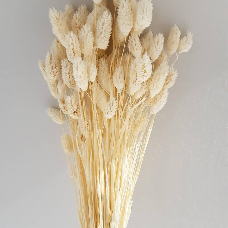 phalaris gebleicht und getrocknet