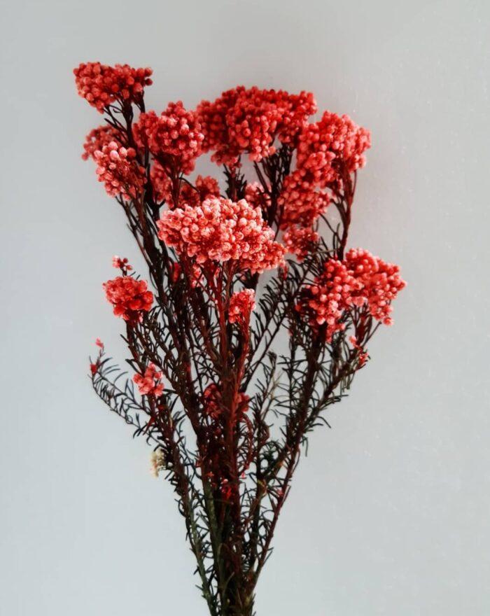 trockenblumen diosmi rot